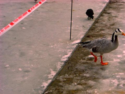 duck_ice