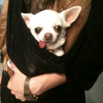 Noodles the chihuahua, travelling around in a pouch.