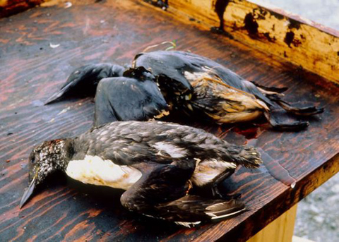 more-birds-dying-in-alberta-oil-sands-than-first-reported