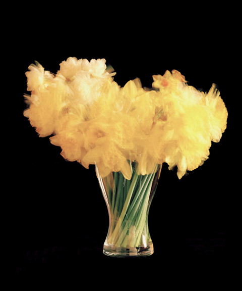 Chris Spackman daffodils