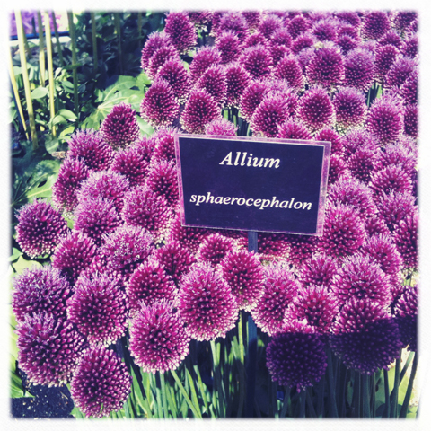 RHS Hampton Court Flower show review 2011 allium sphaerocephalon photography by Amelia Gregory