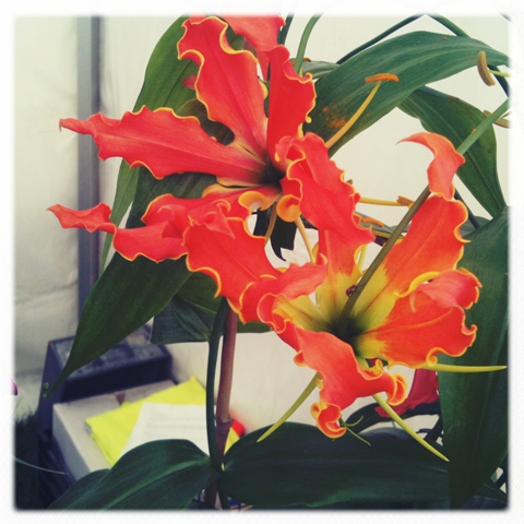 RHS Hampton Court Flower show review 2011-Gloriosa Rothschildiana