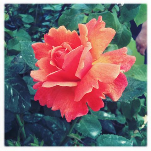 RHS Hampton Court Flower show review 2011-photo amelia gregory