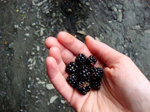 Foraged blackberries at Tir y Gafel