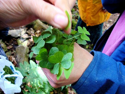 Foraging for wood sorrel at Tir y Gafel