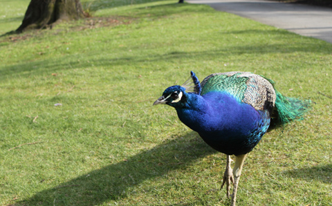 Corrie Nielsen The Peacock