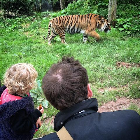 Lake District South Lakes Safari Zoo Tiger