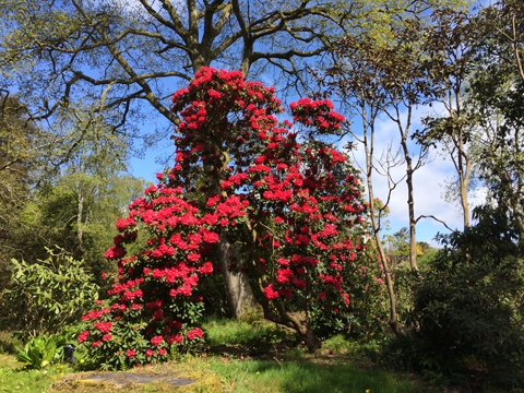 Muncaster Castle red rhododendron