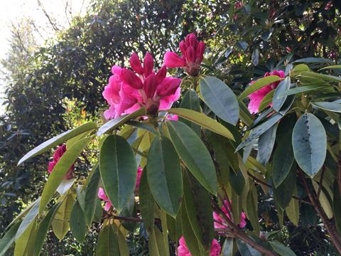 Muncaster Castle rhododendron