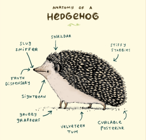 Sophie Corrigan - anatomy of a hedgehog